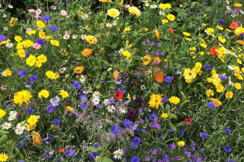 Annual Wildflowers